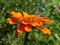 Primer anaranjado vibrante del zinnia imagen de archivo