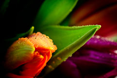 Primer anaranjado Waterdrops del manojo de los tulipanes mojado Fotos de archivo libres de regalías