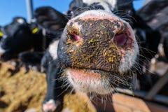 primer animal del bozal, raza de las vacas lecheras sin cuernos que comen el silo fotografía de archivo