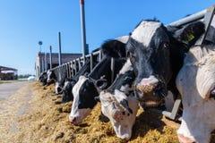 primer animal del bozal, raza de las vacas lecheras sin cuernos que comen el silo foto de archivo libre de regalías