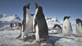 Primer antártico del juego de la colonia del pingüino del adelie almacen de metraje de vídeo