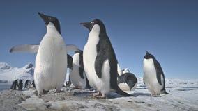 Primer antártico del juego de la multitud del pingüino del adelie metrajes