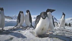 Primer antártico del juego de los pares del pingüino del adelie almacen de video