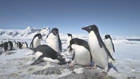 Primer antártico del juego del grupo del pingüino del adelie almacen de video
