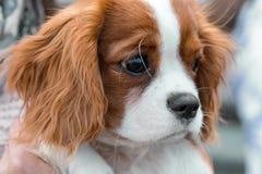 Primer arrogante del retrato del perrito de rey Charles Spaniel imagen de archivo