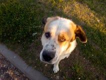 Primer asiático central de Dog del pastor Foto de archivo libre de regalías