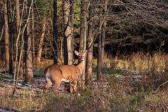 Primer atado blanco de los ciervos en el bosque imagen de archivo