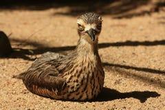 Primer australiano del pájaro de orilla Foto de archivo