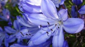 Primer azul de la flor Fotos de archivo