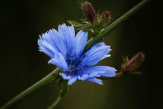 Primer azul de la flor de la achicoria imagen de archivo