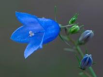 Primer azul del bellflower Fotografía de archivo libre de regalías