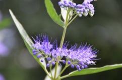 Primer azul del pétalo de la flor de Spirea de la niebla Fotografía de archivo