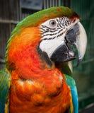 Primer azul y amarillo de la pista del Macaw Fotografía de archivo libre de regalías