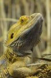 Primer barbudo interior del dragón Fotografía de archivo