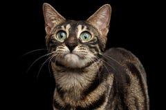 Primer Bengala divertida Cat Face aislada en fondo negro Fotos de archivo libres de regalías
