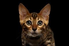 Primer Bengala Kitty Looking in camera en negro Fotos de archivo