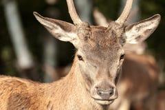 primer Blanco-atado de los ciervos que mira la cámara Fotografía de archivo