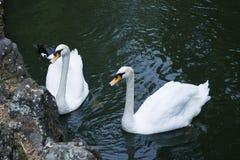 Primer blanco de dos cisnes representado en la charca cerca de la orilla rocosa El fondo de la imagen es negro Copie el espacio foto de archivo