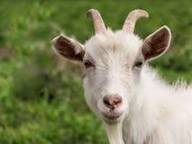 Primer blanco de la cabra Fotografía de archivo libre de regalías