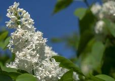 Primer blanco de la lila en fondo del cielo azul imagen de archivo libre de regalías