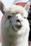 Primer blanco de la llama Alpaca con los ojos azules Foto de archivo libre de regalías