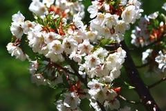 Primer blanco de las flores de las flores de cerezo Fotos de archivo