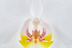 Primer blanco del centro de la flor de la orquídea imágenes de archivo libres de regalías