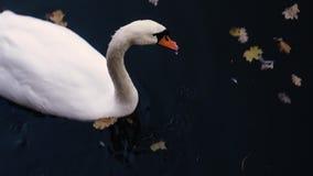 Primer blanco del cisne en una charca almacen de video