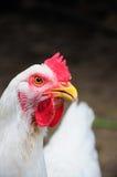 Primer blanco del pollo Imagen de archivo libre de regalías