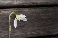 Primer blanco del snowbell en el fondo gris de madera, espacio vacío, humor claro de la primavera de la simplicidad imagenes de archivo