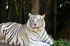 Primer blanco del tigre Fotos de archivo