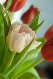 Primer blanco del tulipán Fotografía de archivo