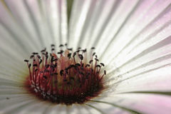 primer Blanco-rosado 1 del gerbera Imagen de archivo libre de regalías