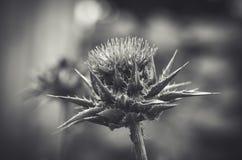 Primer blanco y negro de la flor del cardo Imágenes de archivo libres de regalías