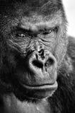 Primer blanco y negro de una cara potente del gorila con una mirada fija pensativa imagenes de archivo