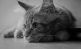 Primer blanco y negro del gatito del mapache de Maine Imagen de archivo libre de regalías