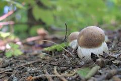 Primer bolete del abedul de las setas del bosque del verano Imagen de archivo libre de regalías