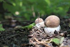Primer bolete del abedul de las setas del bosque del verano Foto de archivo