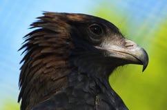 Primer breasted negro del halcón Fotos de archivo libres de regalías