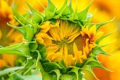 Primer cerrado del girasol en los rayos del sol del verano Imágenes de archivo libres de regalías