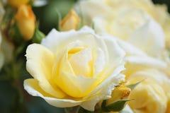 Primer color de rosa amarillo claro en jardín Foto de archivo