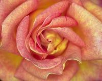 Primer color de rosa de la flor del color de rosa oscuro foto de archivo libre de regalías