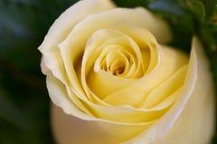 Primer color de rosa del amarillo Imagen de archivo