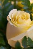Primer color de rosa del amarillo Imagen de archivo libre de regalías