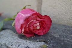 Primer color de rosa del color de rosa Foto de archivo libre de regalías