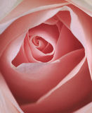 Primer color de rosa del color de rosa hermoso Imagen de archivo