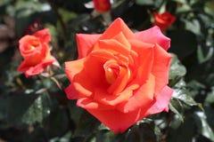Primer color de rosa del rojo Imágenes de archivo libres de regalías