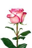 Primer color de rosa floreciente del rojo y del blanco Foto de archivo libre de regalías