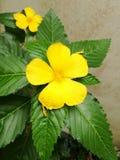 Primer color de rosa de la flor del sabio amarillo Fotos de archivo libres de regalías