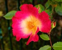 Primer color de rosa salvaje amarillo rojo vibrante en el jardín Imagenes de archivo
